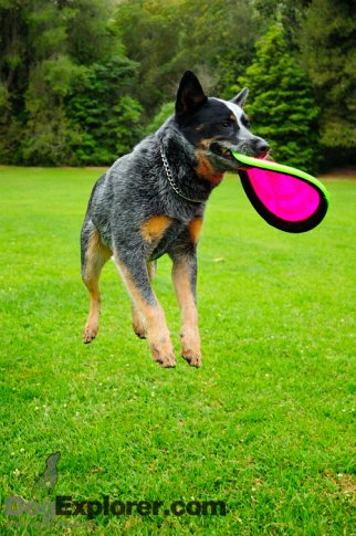 how to start a cattle dog