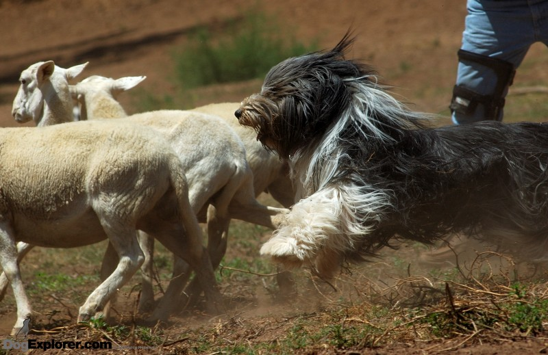 Bearded Collie herding dog Bubby with sheep Dog Picture DAWG Working Dog Fundraiser
