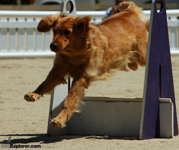 Flyball Supersonics DAWG Working Dog Fundraiser Golden Retriever Dog Picture