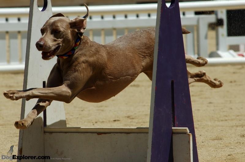 Weimaraner DAWG Working Dog Fundraiser Flyball Supersonics Dog Picture