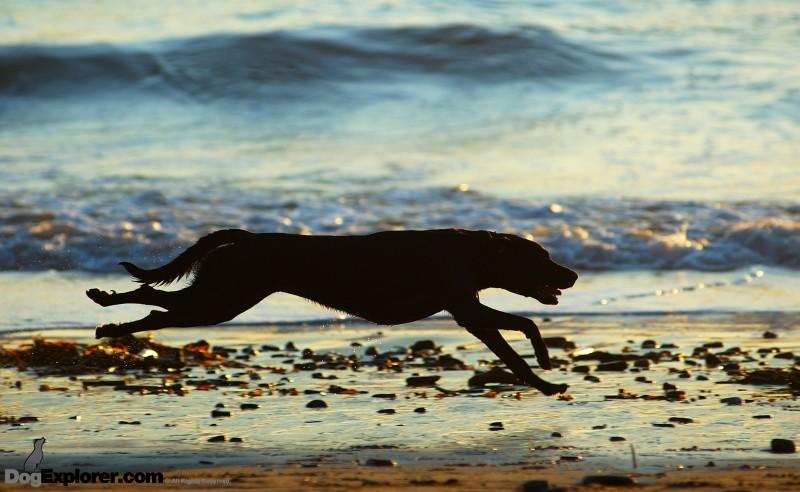 Dog Pictures Chocolate Labrador Retriever