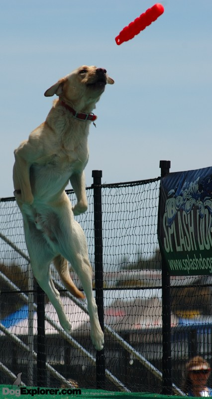 Labrador Retriever Leaping Dock Diving Dog Picture