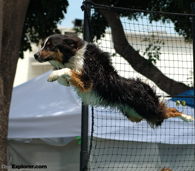 Australian Shepherd Splash Dog Picture