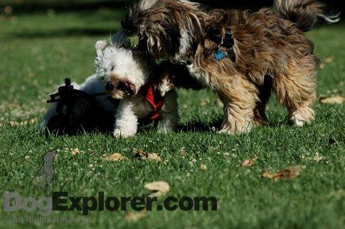 .php?pos=-834]Coton de Tuléar Playing With Tibetan Terrier[/url