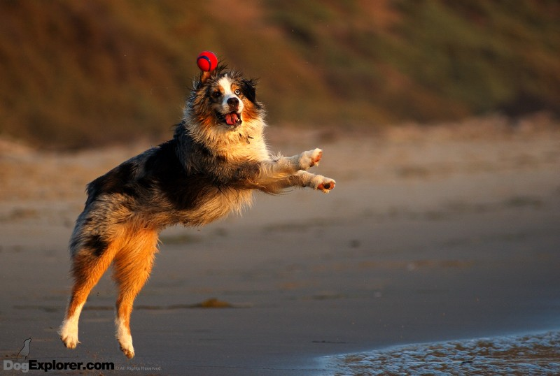 Dog Picture – Australian Shepherd