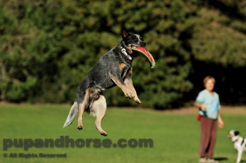 Dog Picture – Australian Cattle Dog Queensland Blue Heeler Flying Disc